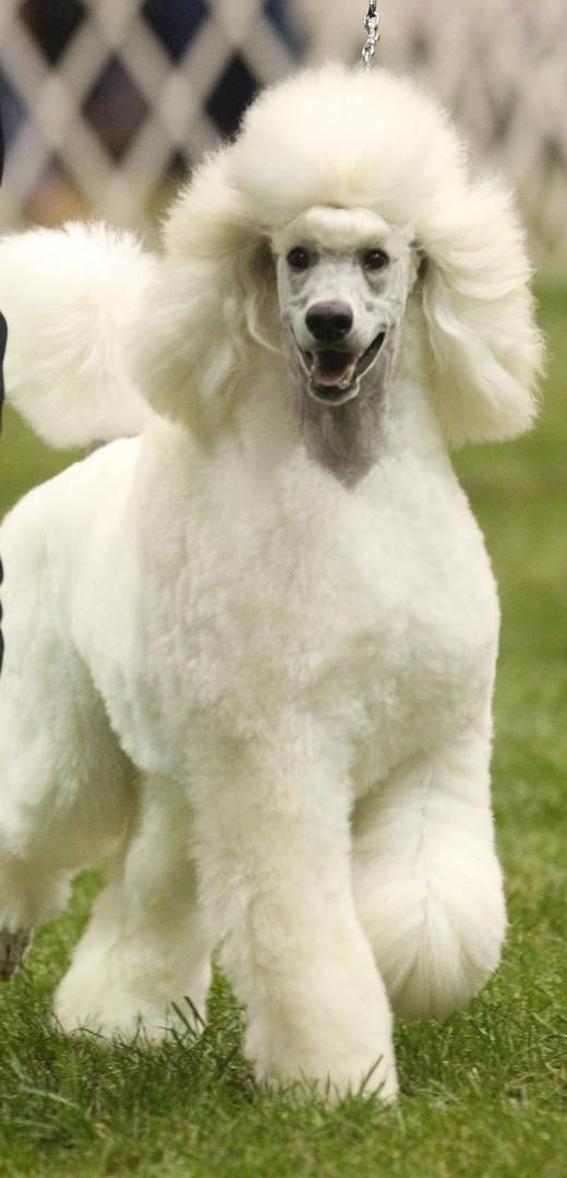 Standard Poodle Puppies In Black Or White Poodle Dogs