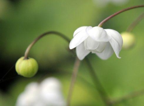 Anemonopsis macrophylla White Swan.jpg 490×362 пикс