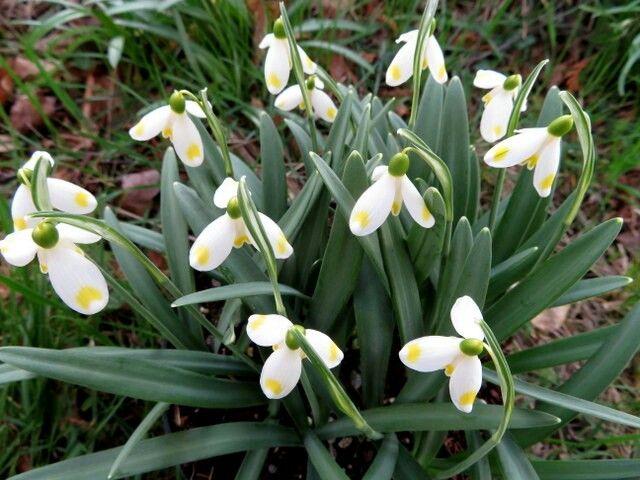 Galanthus Midas Shade Garden Plants Shades