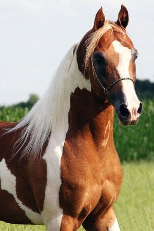 Arabian horse - Pintabian stallion named Nickie NL - from The Black Arabian Horse
