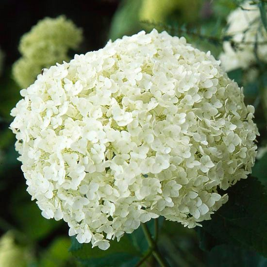 'Annabelle' Hydrangea  A cousin to mopheads and lacecaps, 'Annabelle' hydrangea (Hydrangea arborescens 'Annabelle') is one of the hardiest types. It blooms in summer...could be a good contender for our front door area!