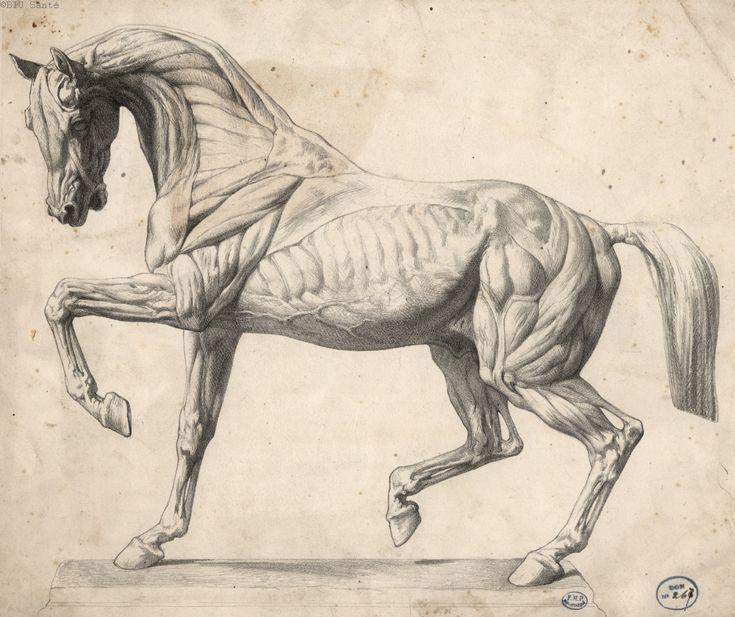 Die besten 17 Ideen zu Tieranatomie auf Pinterest : Tiere zeichnen und Anatomie zeichnung