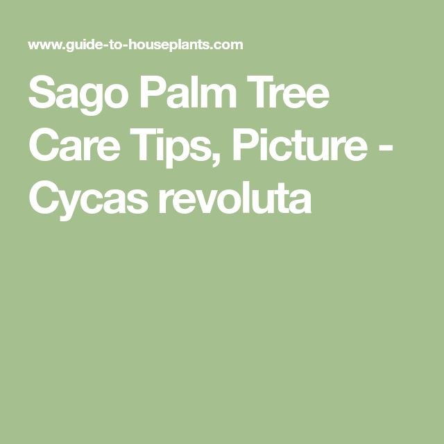 Sago Palm Tree Care Tips, Picture - Cycas revoluta