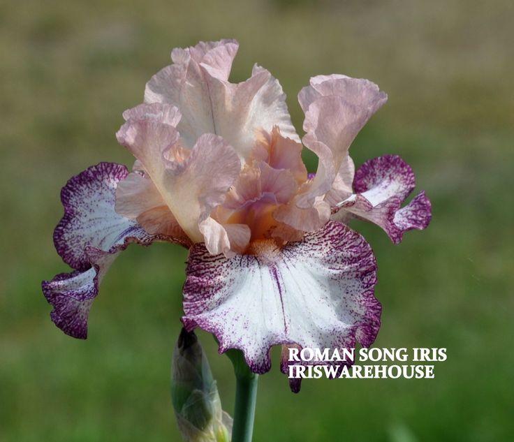 TB Iris germanica 'Roman Song' (Blyth, 1993)