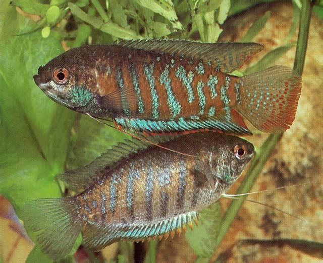 Peces exoticos de agua dulce para pecera peces de todas for Peces de agua dulce para peceras