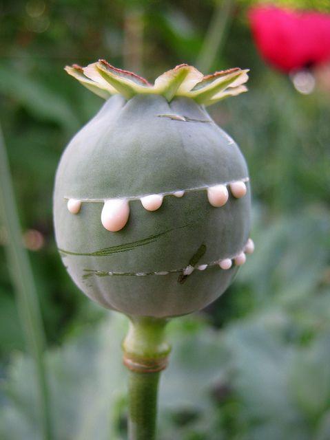 Opium Poppy (Papaver Somniferum)  Pod with fresh opium. Photo by farmer dodds on flickr