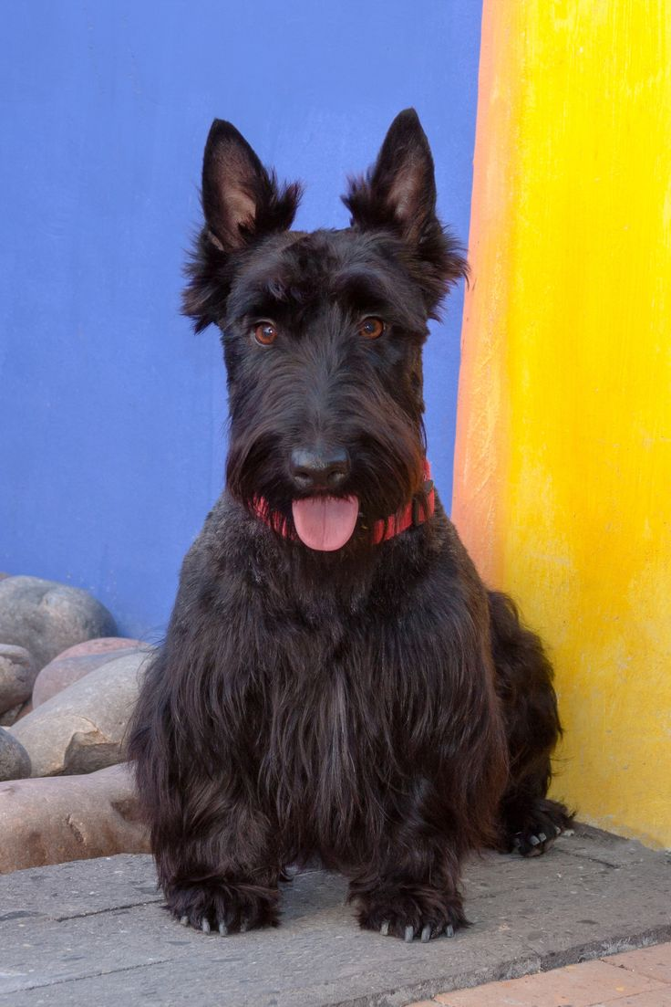 scottish terrier don t 25 melhores ideias de scottish terrier no pinterest 2188