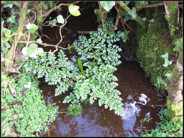 Oenanthe crocata. en 2020 Plante vivace, Botanique, Jardins