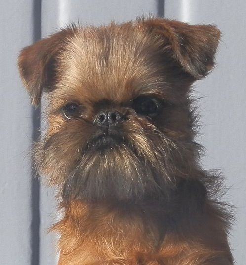Brussels griffon will be our new addition. Just need to do sol convincing.