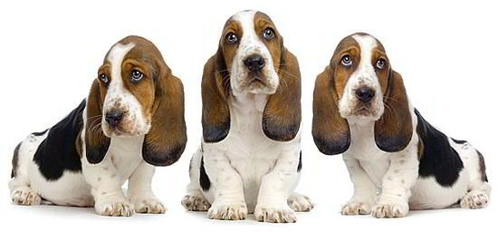 Conheça a raça Basset Hound   WEB LUXO