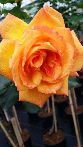 Rosa Sahara