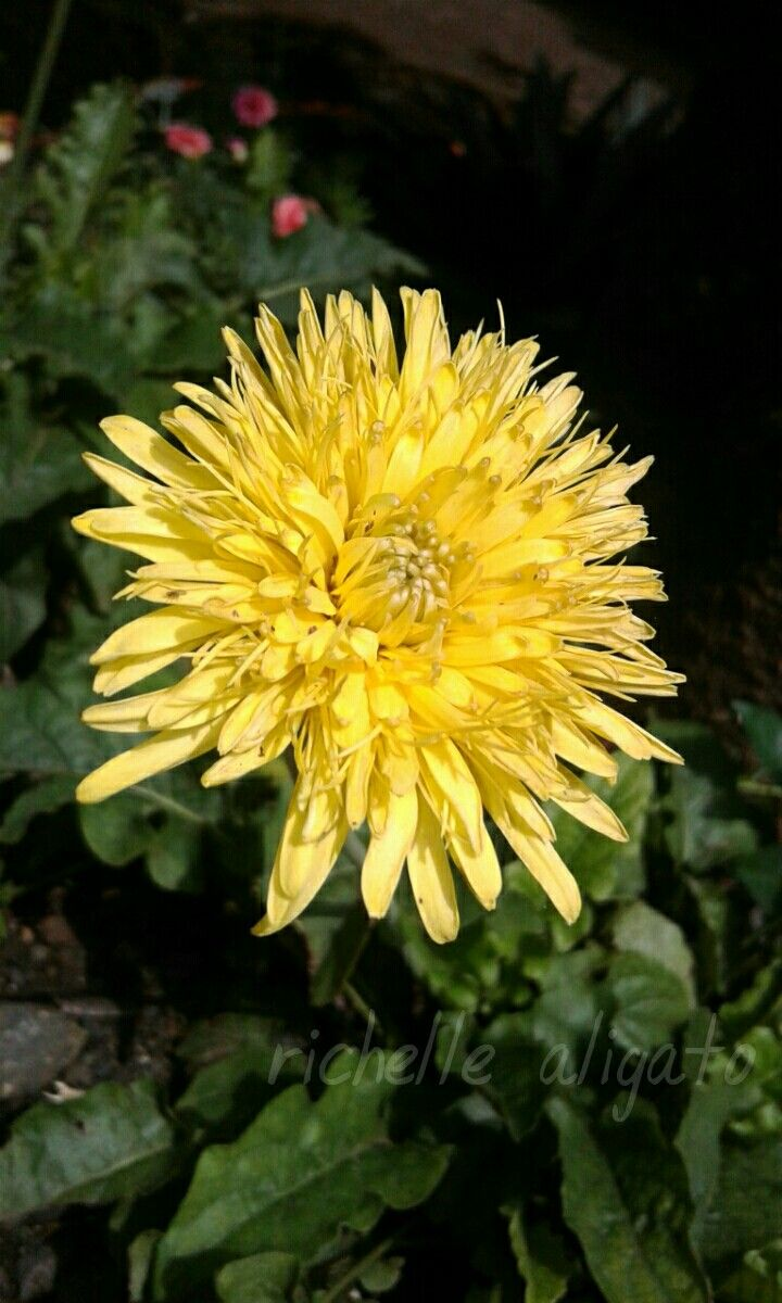 #morning#flower#yellow#daisy