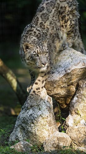 Snow leopard getting down the rock