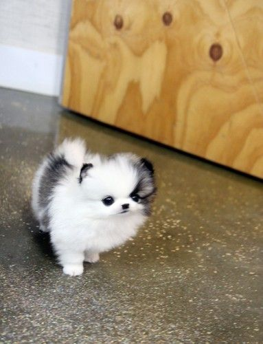 Teacup white and black Pomeranian puppy love obsession.