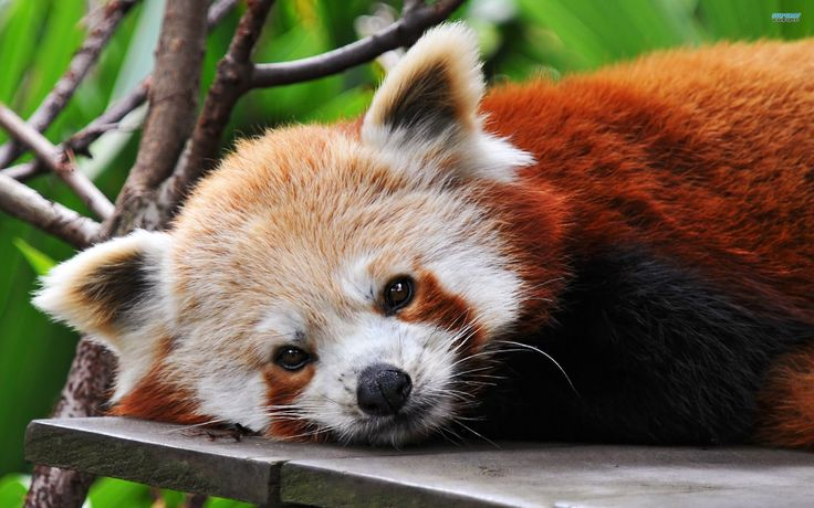 Wallpaper red panda