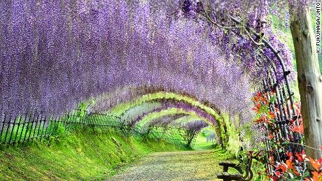 Kyushu, the southwesternmost of Japan's main islands, is where you'll find Kawachi Fuji Garden in Fukuoka. Artisans of Leisure is offering a new tour in 2016 that takes in the island's highlights, including Fukuoka, Nagasaki, Kumamoto, Yufuin and Beppu.