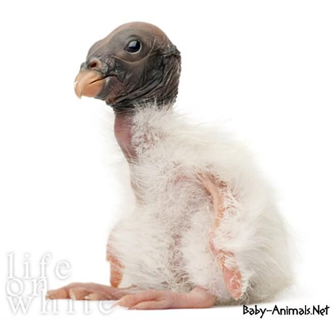 Baby vulture images   #Babyvulture  #vulture  #cutevulture  #littlevulture  #sweetvulture  #funnyvulture  #babyanimals   #cuteanimals