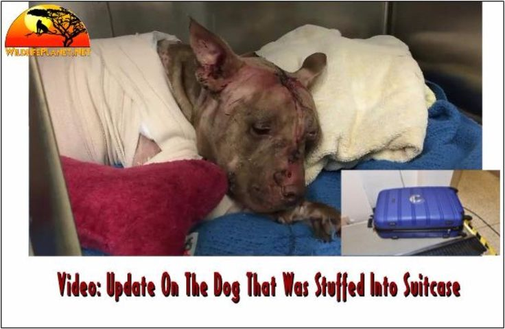 Hollywood police said the dog's paw was sticking out of the suitcase when officers found Ollie  #animalcruelty #animalrights #animals #slaughter #pets #dogs #AnimalWelfare #environment #abused #abuse #Rescued #Rescue #AnimalRescue #caturday #cat #Dog #cats #Dogs #cateyes #catgram #Doggram #catsofinstagram #dogsoftwitter #Dogstagram #catstagram #Dogsagram #catsagram #Dogoftheday #catoftheday #Doglovers