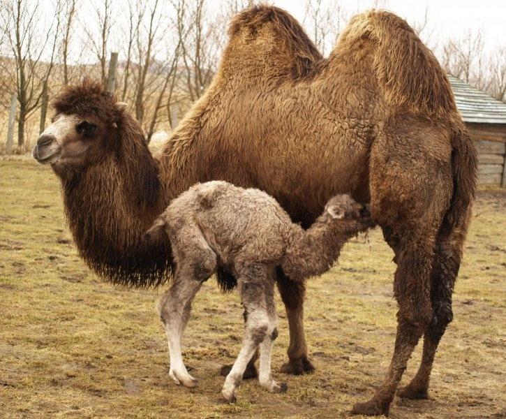 58 besten camelll Bilder auf Pinterest | Animal kingdom, Desserts ...