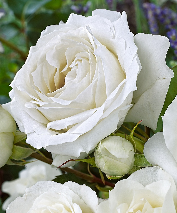 Rose White Symphonie - Beautiful: White Flowers, Beautiful Roses, White Roses, Rose White, White Garden, Pink, Flowers Rose