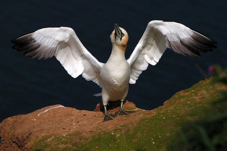Northern Gannet... Breeding in only a few large colonies along the North Atlantic, the Northern Gannet spends most of its life at sea... Audubon Field Guide