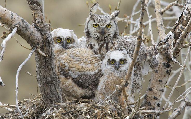 Great Horned Owl, Большая рогатая сова, птицы, птенцы, гнездо, сова