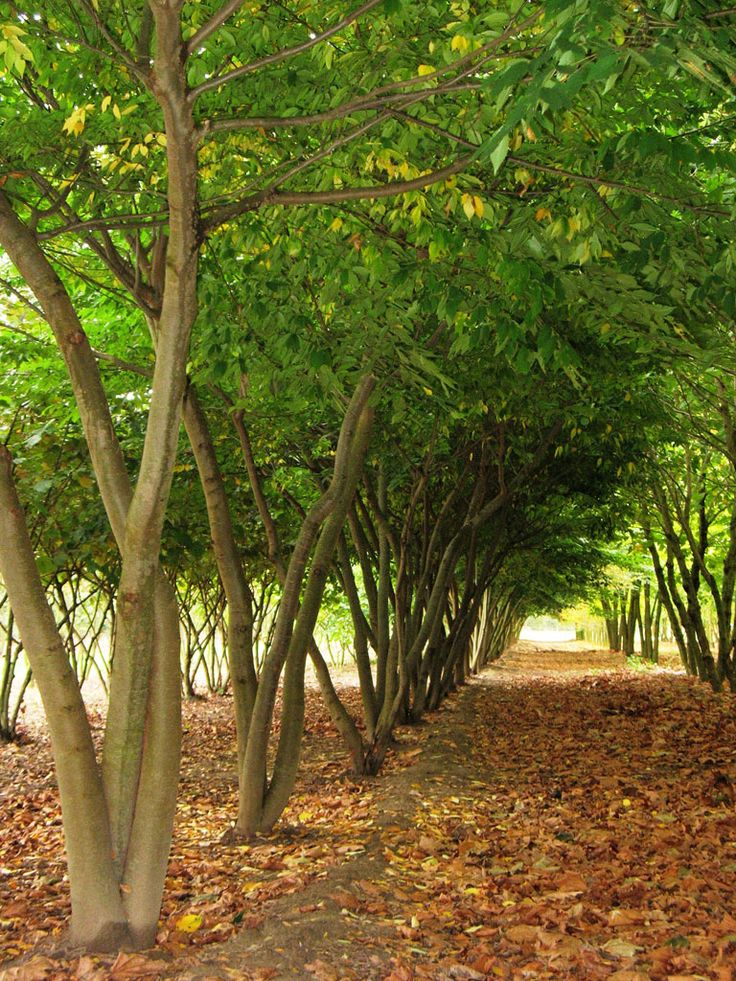 zelkova serrata ebben multistem trees meerstammige bomen pinterest shrub plants and. Black Bedroom Furniture Sets. Home Design Ideas