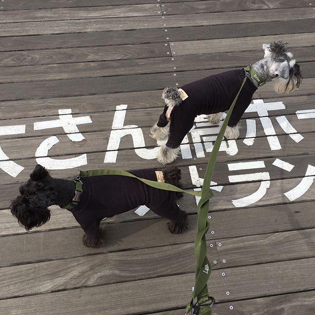 横浜までお出かけ 山下公園からくじらの背中までお散歩 いつか横浜のお友達に会えますように♡ #シュナウザー#ミニチュアシュナウザー #ミニチュアシュナウザー多頭 #ミニシュナ#黒シュナ #クロシュナ #親子#愛犬#いぬすたぐらむ#しゅなら部 #アルファアイコン#ふわもこ部 #dog #miniatureschnauzer
