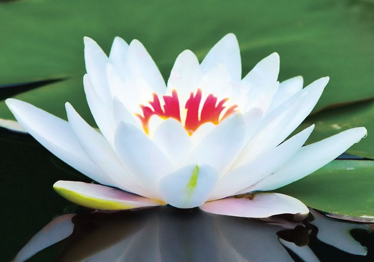 Lotus: Blooms to the heavens, rooted in the earth. ~cww