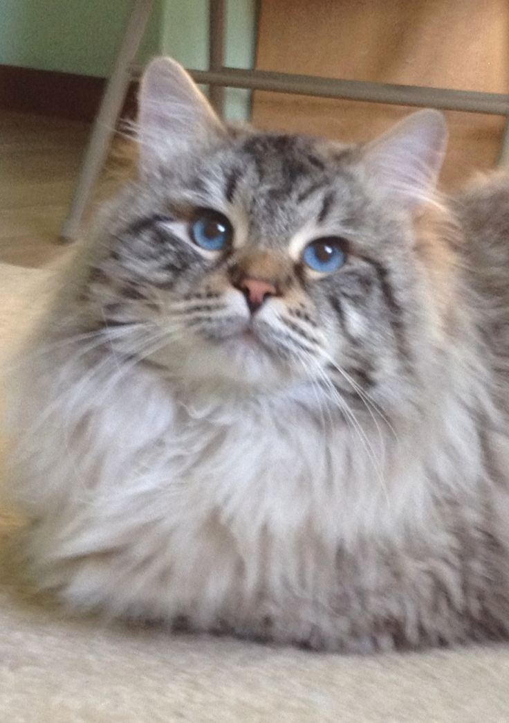 Siberian Cats and Kittens