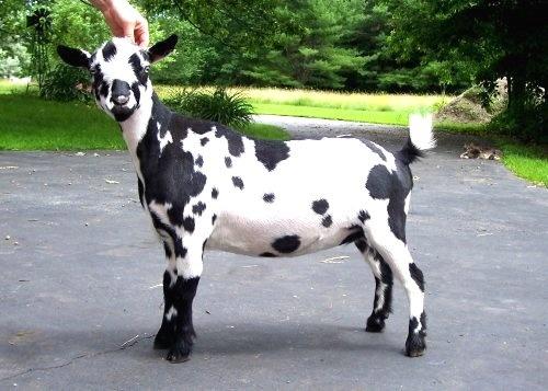 Parezco un dálmata, pero soy una cabra lechera enana