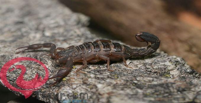 تفسير حلم العقارب الكثيره لابن سيرين 4 Animals Scorpion Animals Of The World