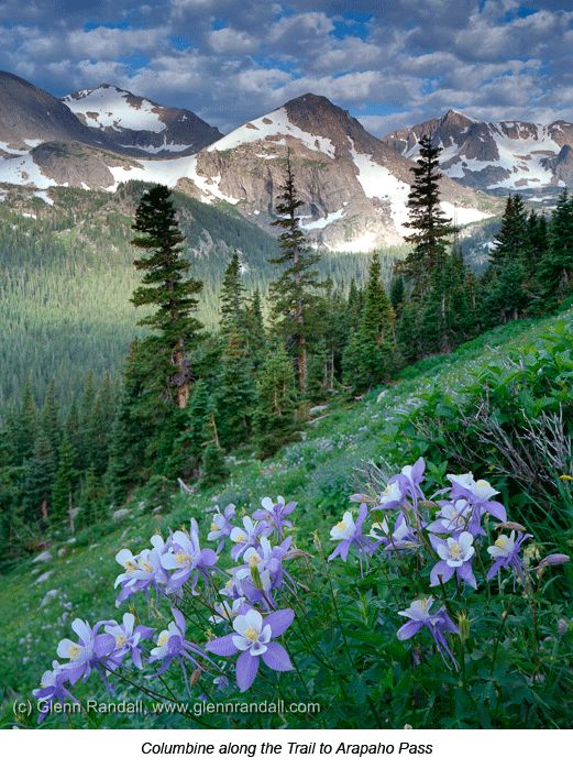 Columbines on trail to Arapaho Pass (Colorado) by Glenn Randall