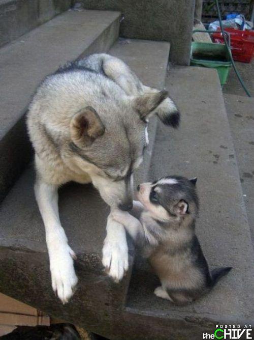 too cute: Dogs, Siberian Husky, So Cute, Pet, Baby, Husky Puppies, Mom, So Sweet, Animal