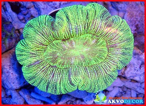 Jenis Terumbu Karang Akuarium Yang Cocok  Jenis terumbu karang akuarium adalah perlu untuk diketahui setiap orang yang memiliki hobi mengoleksi ikan di akuarium dengan seksama. Terumbu karang tidak sepenuhnya diketahui oleh orang karena terumbu karang ini banyak jenisnya dan berbeda karakteristik pastinya.  Selengkapnya: http://akvodecor.com/jenis-terumbu-karang-akuarium-yang-cocok/
