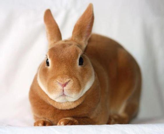 Top Les 2355 meilleures images du tableau Rex Rabbits sur Pinterest  RB11
