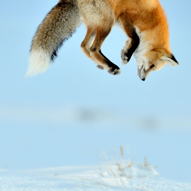 A fox is caught mid-pounce as it prepares to nose-dive into deep snow to catch a mouse.  Wildlife photographer Richard Peters captured the adventurous fox while travelling through Lamar Valley in Yellowstone National Park. He explained: 'We watched it walk across the snow, stopping from time to time to listen for mice activity underneath the snow cover. After a good twenty minutes the fox leapt into the air and dived into the snow twice to catch a meal.'