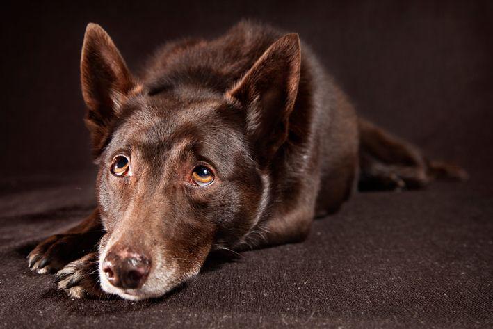 Tash. Red Dog. Sweet Doggy. Portrait.