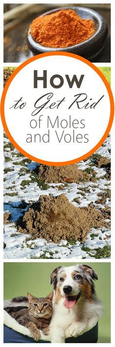 how to get rid of moles and voles gardens gardening hacks and how to get. Black Bedroom Furniture Sets. Home Design Ideas