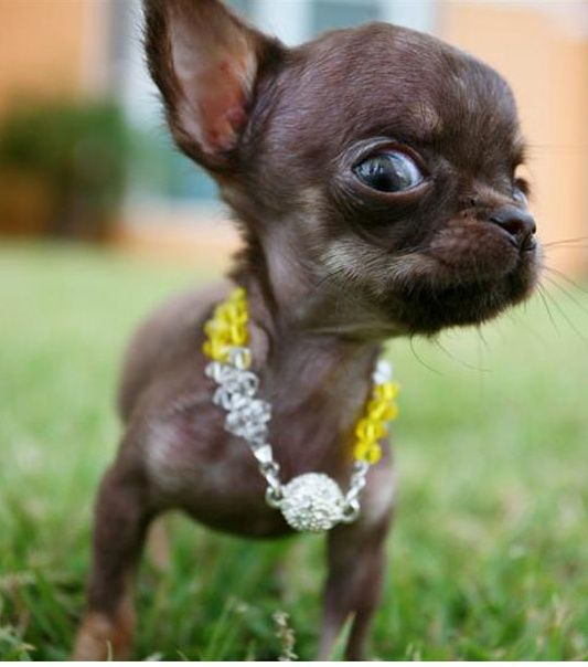The Smallest Dog Ever