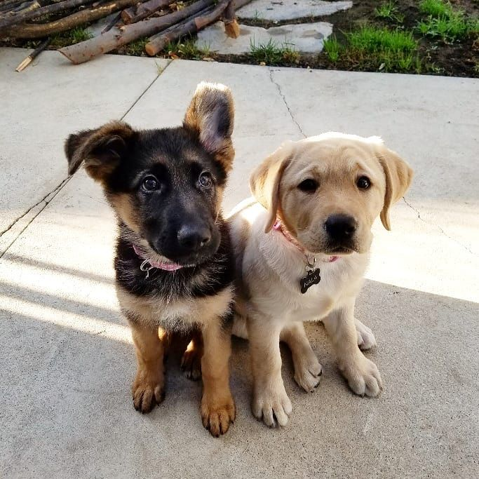German Shepherd Kona And Labrador Nala Two Lifelong Best Friends