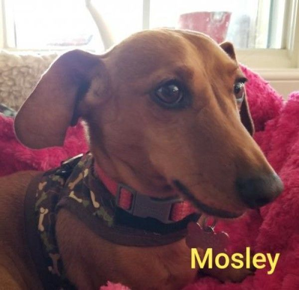 Dachshund Dog For Adoption In West Columbia South Carolina Mosley Bonded With Manny In West Colum Dachshund Adoption Rescue Dogs For Adoption Dog Adoption