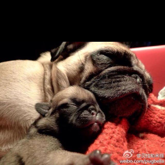 Mama and baby pug