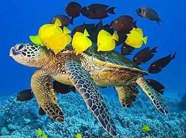 """ARTEUALIDADES DA WEB: Atualidades - Preservação Marinha + Os mares e oceanos compreendem aproximadamente 71% da superfície terrestre, permitindo a existência de diferentes ecossistemas aonde encontramosrepresentantes de diversos grupos animais e vegetais. A conservação e preservação do ambiente marinho deve ser responsabilidade de cada ser humano e precisa começar a partir de agora.  """"No final das contas, conservaremos apenas o q amamos, amaremos somente o q compreendemos e compreenderemos…"""