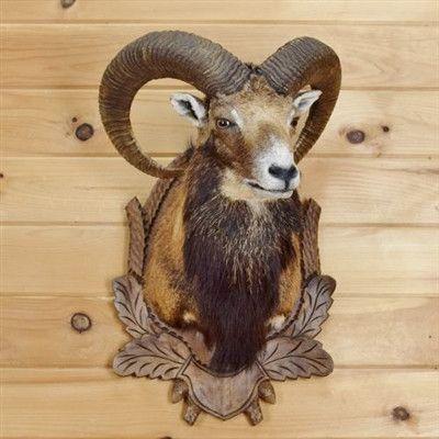 Mouflon Sheep Taxidermy For Sale - Corsican - SW3388