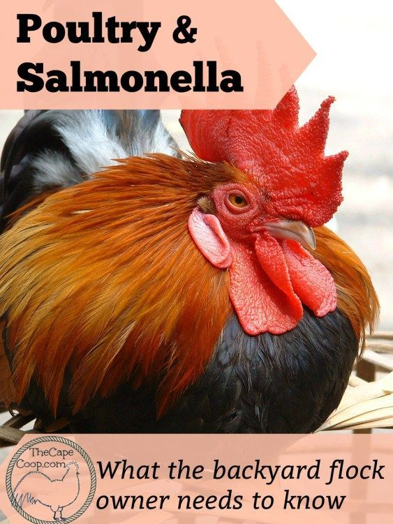 Backyard Poultry & Salmonella - The Cape Coop