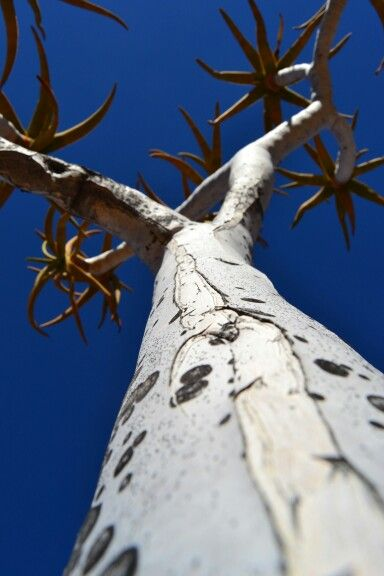 #quiver tree #namibia #photography #richtersveld