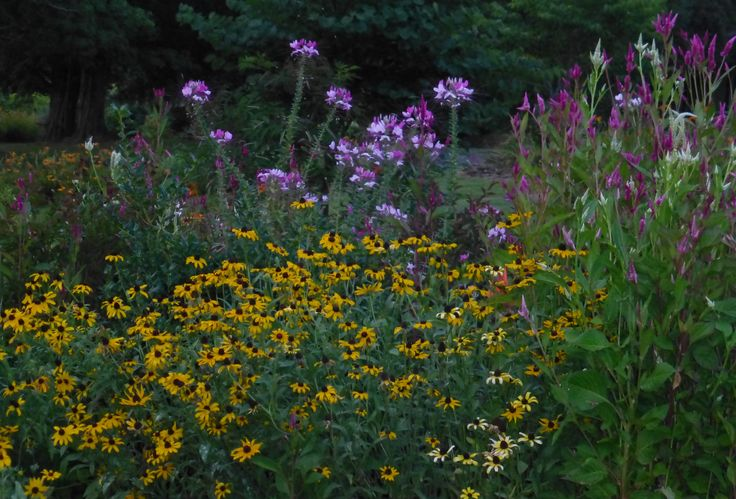 Picture from one of my 2014 flower beds.  Includes celome, feathered coxcomb (celosia) and Gloriosa Daisies in bloom.