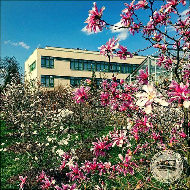 #KolekcjaMagnolii dr hab. Jana Toneckiego #szklarnieSGGW #budynek35 #ogrodnictwo #WOBiAK #SGGW 🏡🌼🌼🌼 #MagnoliaCollection by Dr Jan Tonecki #WULSgreenhouse #building35 #horticulture #WULS