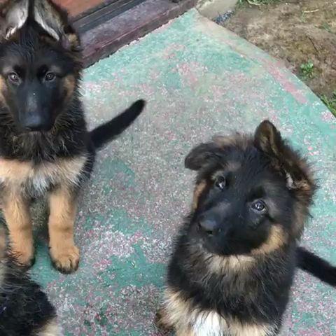 German shepherd puppies cuteness overload 